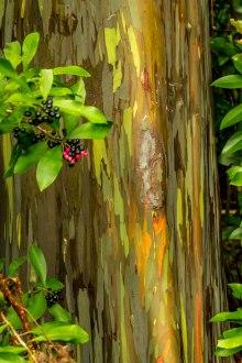 rainbow-eucalyptus-maui-11
