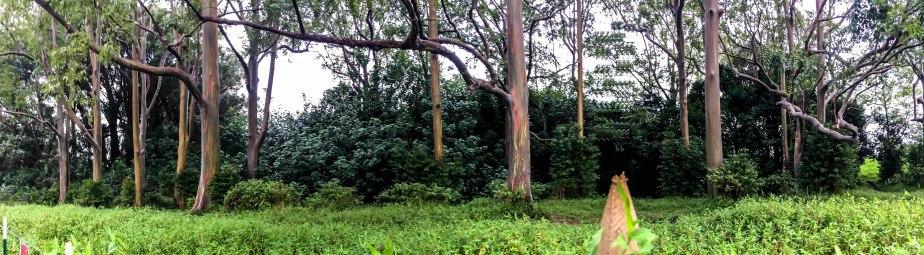 rainbow-eucalyptus-maui-14