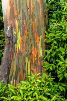 rainbow-eucalyptus-maui-4