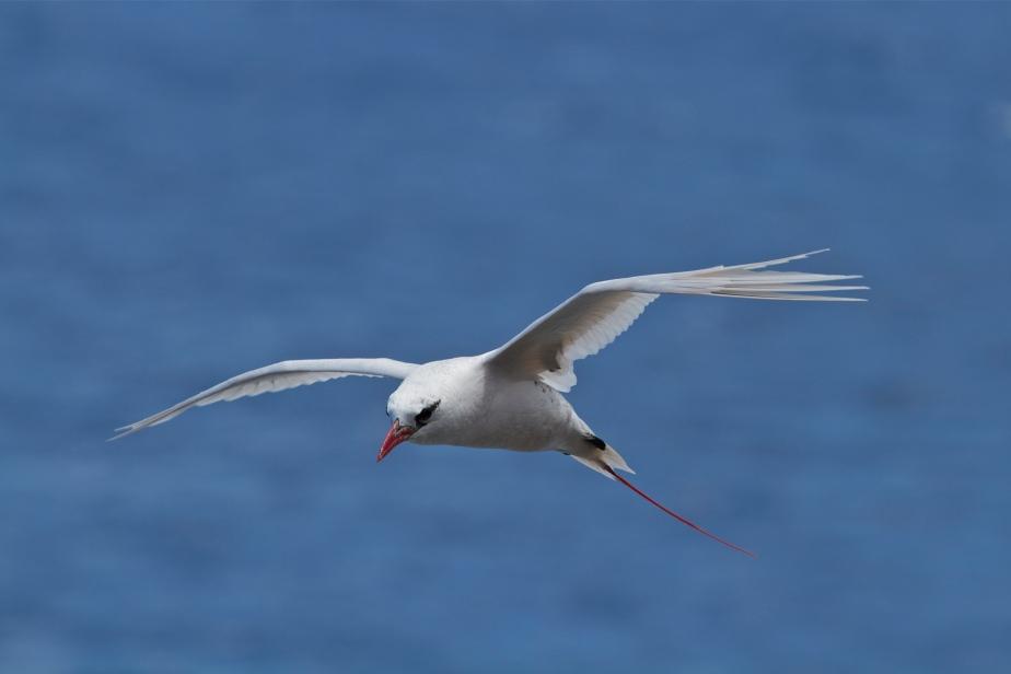 140621 1421 Red Tailed Tropicbird, Koa'e 'Ula (Phaethon rubricauda melanorhynchos)