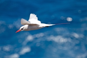 140621 1443 Red Tailed Tropicbird, Koa'e 'Ula (Phaethon rubricauda melanorhynchos)