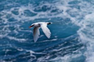 140621 1464 Red Tailed Tropicbird, Koa'e 'Ula (Phaethon rubricauda melanorhynchos)