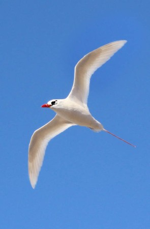 Red-Tailed-Tropicbird-1