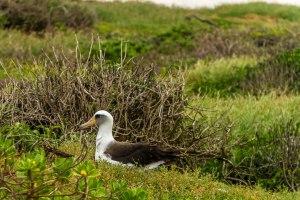 Ka'ena Point Albatross-8