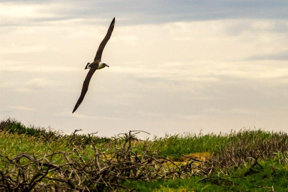 Ka'ena Point Albatross-9