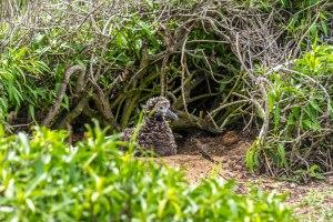 Ka'ena Point Albatross Chicks-14