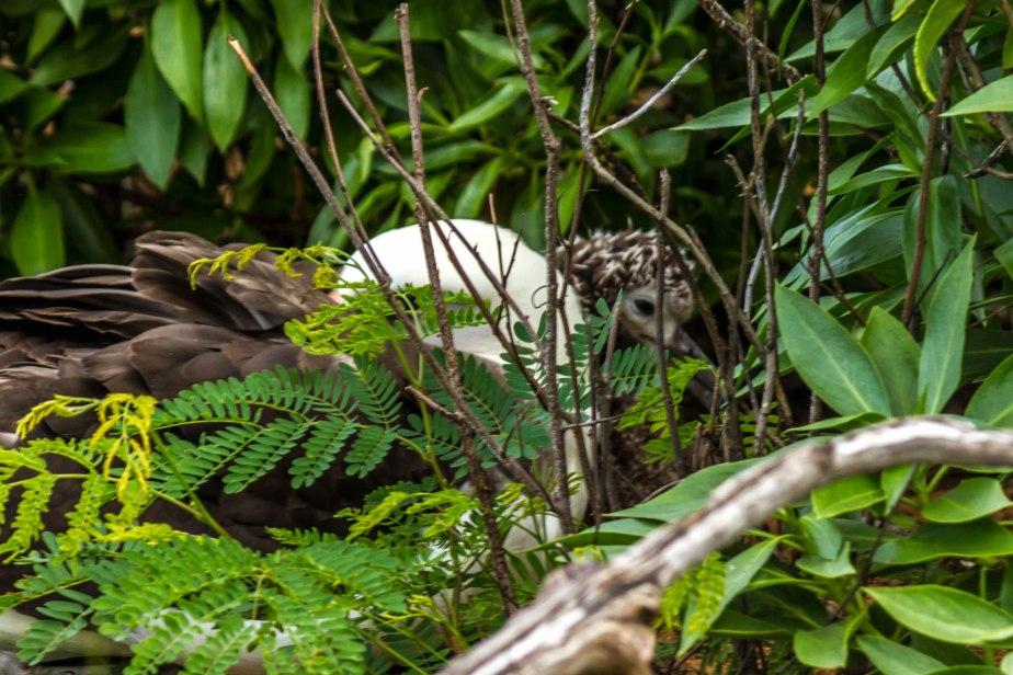 Ka'ena Point Albatross Chicks-18