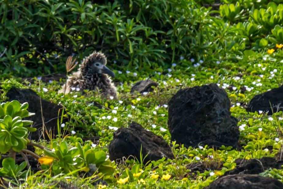 Ka'ena Point Albatross Chicks-4