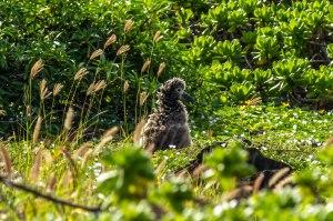 Ka'ena Point Albatross Chicks-7