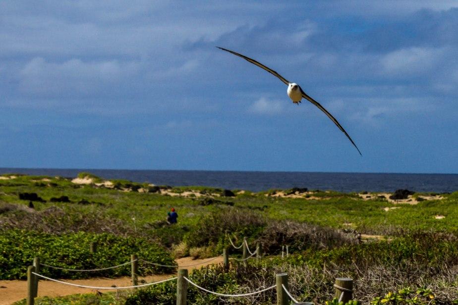 Ka'ena Point - Albatross Mating-13