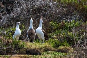 Ka'ena Point - Albatross Mating-6